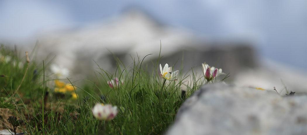 Alla scoperta della flora alpina delle Dolomiti di Brenta